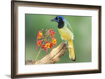 Texas, Hidalgo County. Green Jay on Log-Jaynes Gallery-Framed Photographic Print