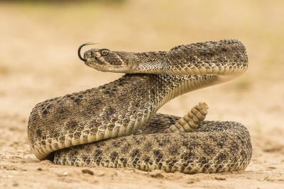 https://imgc.artprintimages.com/img/print/texas-hidalgo-county-western-diamondback-rattlesnake-coiled-to-strike_u-l-q13aoqw0.jpg?p=0