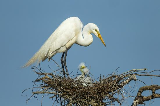 Texas, High Island, Smith Oaks Rookery. Great Egret Parent at Nest with Chicks-Jaynes Gallery-Photographic Print