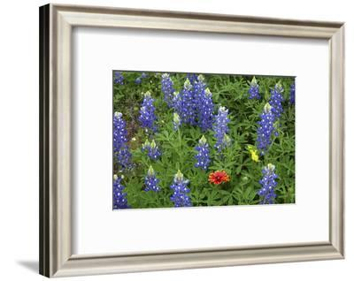 Texas Hill Country wildflowers, Texas. Bluebonnets and Indian Blanket-Gayle Harper-Framed Photographic Print
