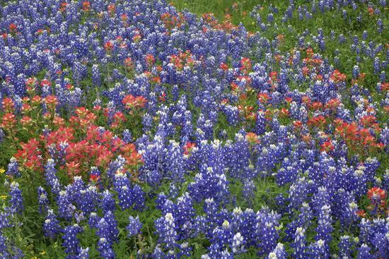 Texas Hill Country wildflowers, Texas. Bluebonnets and Indian Paintbrush-Gayle Harper-Photographic Print