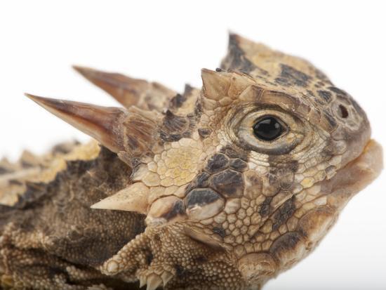 Texas Horned Lizard, Phrynosoma Cornutum, at the Fort Worth Zoo-Joel Sartore-Photographic Print