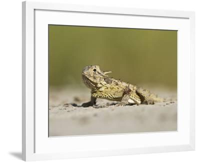 Texas Horned Lizard, Texas, USA-Larry Ditto-Framed Photographic Print