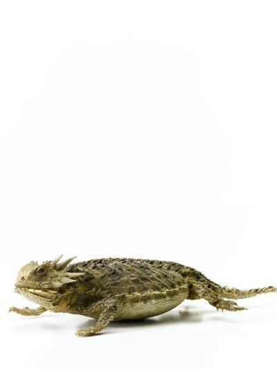 Texas Horned Lizard--Photographic Print