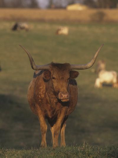 Texas Longhorn Cattle, Southwestern USA-Tom Edwards-Photographic Print