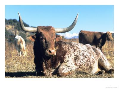 Texas Longhorn, Resting, Colorado, USA-Philippe Henry-Photographic Print