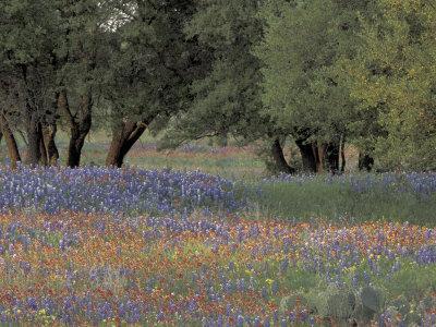 https://imgc.artprintimages.com/img/print/texas-paintbrush-and-bluebonnets-below-oak-trees-hill-country-texas-usa_u-l-p42x3y0.jpg?p=0