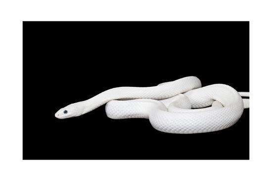 Texas Rat Snake-alkir-Art Print