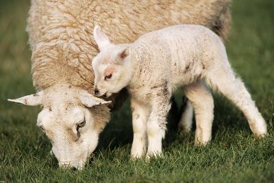 Texel Sheep Ewe with Lamb--Photographic Print
