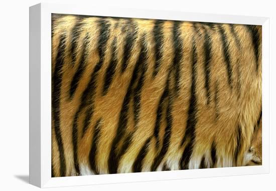Texture of Real Tiger Skin-byrdyak-Framed Stretched Canvas Print