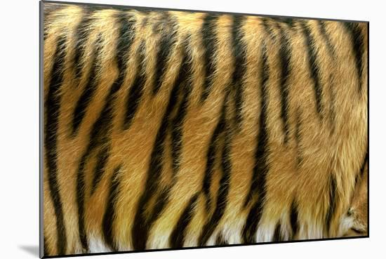 Texture of Real Tiger Skin-byrdyak-Mounted Photographic Print