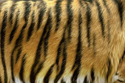 Texture of Real Tiger Skin-byrdyak-Photographic Print