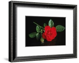 Red Rose Blossoming with Drops of Water by TH-Foto