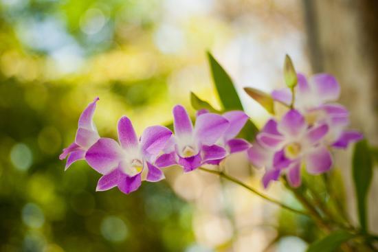Thai Orchids-Erin Berzel-Photographic Print