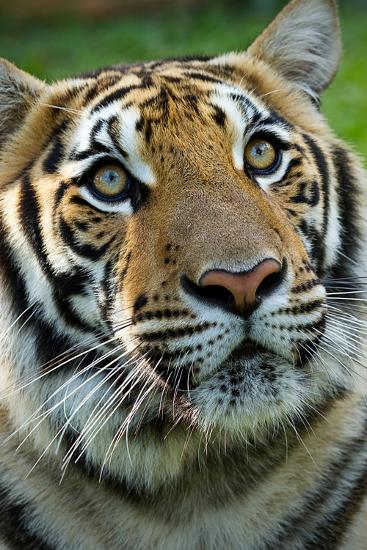 Thai Tiger-Photo by Sayid Budhi-Photographic Print