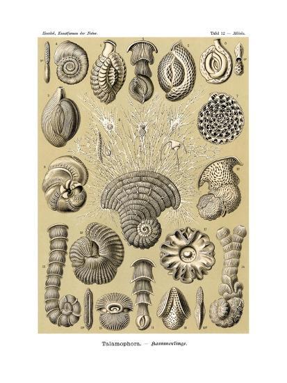 Thalamophora, 1899-1904--Giclee Print