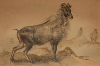 Thar-Joseph Wolf-Giclee Print