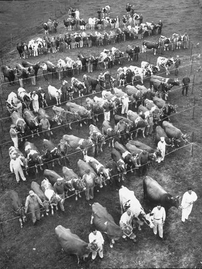 The 100 Nearly Arrayed Cows are the Cream of Curtiss Farm, Five Dairy Breeds--Photographic Print