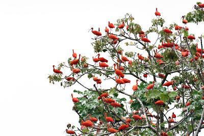The Adult Male and Female Scarlet Ibis, Eudocimus Rube, Are Bright Red-Carrie Vonderhaar-Photographic Print
