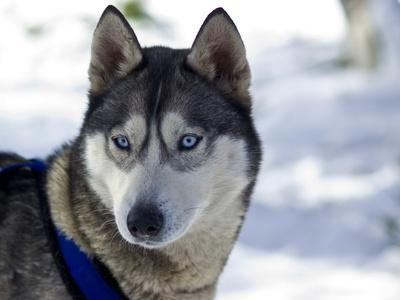 https://imgc.artprintimages.com/img/print/the-alert-ears-and-bright-blue-eyes-of-a-siberian-husky-sled-dog_u-l-pet9750.jpg?p=0