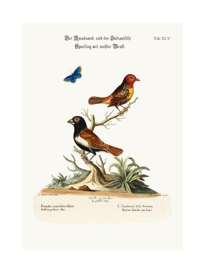The Amadavad, and the White-Breasted Indian Sparrow, 1749-73-George Edwards-Giclee Print