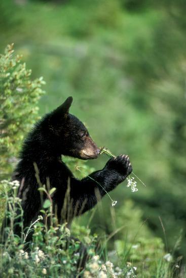 The American Black Bear Cub, Ursus Americanus, Sniffing Wildflowers-Tom Murphy-Photographic Print