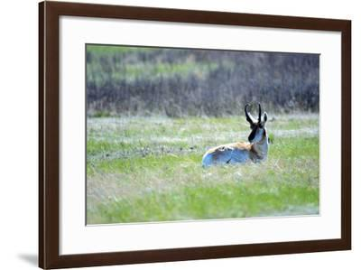 The American Pronghorn, a Buck Rests in the Grass-Richard Wright-Framed Photographic Print