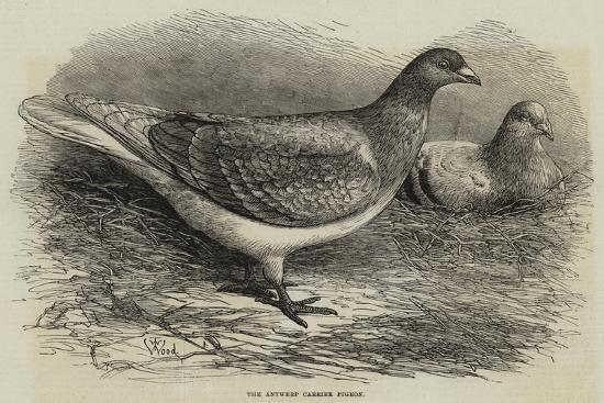 The Antwerp Carrier Pigeon-Thomas W. Wood-Giclee Print