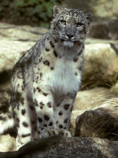 The Appraising Stare of a Majestic Snow Leopard, Alpine Predator, Melbourne Zoo, Australia-Jason Edwards-Photographic Print