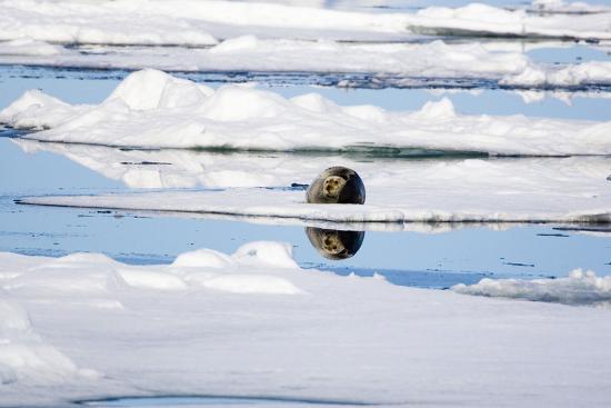 The Atlantic, Pack Ice, Bearded Seal, Erignathus Barbatus-Frank Lukasseck-Photographic Print