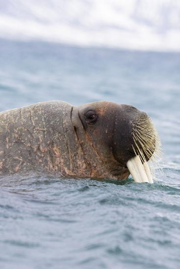 The Atlantic, Walrus, Odobenus Rosmarus, Side Portrait-Frank Lukasseck-Photographic Print
