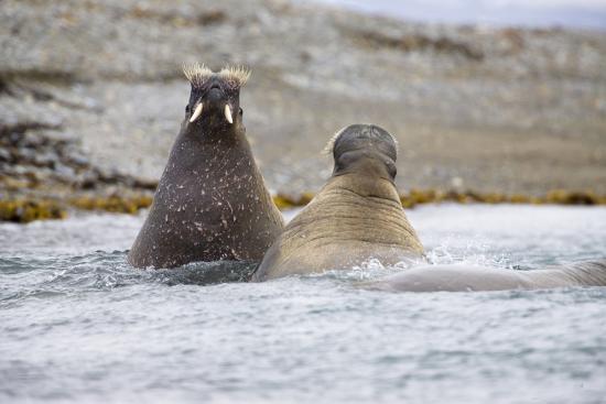 The Atlantic, Walruses, Odobenus Rosmarus, Swimming-Frank Lukasseck-Photographic Print