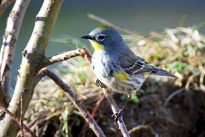 The Audubon's Warbler Is a Small New World Warbler-Richard Wright-Photographic Print