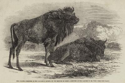 The Aurochs Presented to the Zoological Society, by the Emperor of Russia-Harrison William Weir-Giclee Print
