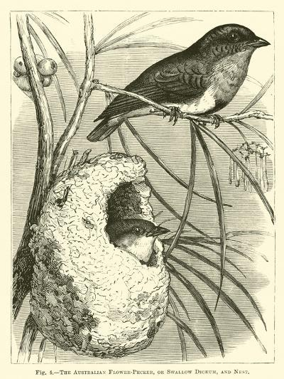 The Australian Flower-Pecker, or Swallow Dicaeum, and Nest--Giclee Print