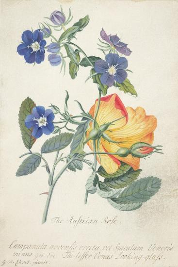 The Austrian Rose, Intertwined Spray of the Two Seperate Species-Georg Dionysius Ehret-Giclee Print