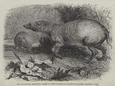 The Babirussa, Recently Added to the Zoological Society's Gardens, Regent's Park-Johann Baptist Zwecker-Giclee Print