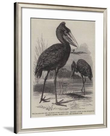 The Balaeniceps Rex--Framed Giclee Print