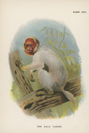 The Bald Uakari--Giclee Print