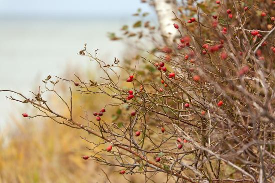 The Baltic Sea, R?gen, Rose Hip Shrub-Catharina Lux-Photographic Print