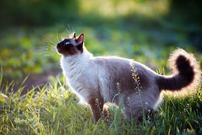 The Beautiful Brown Cat, Siamese, with Blue-Green Eyes Lies in a Green Grass and Leaves-Bershadsky Yuri-Photographic Print