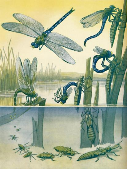 'The Beautiful Dragonfly's Life Story', 1935-Unknown-Giclee Print
