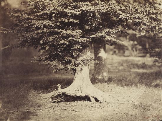 The Beech Tree, c.1855-7-Gustave Le Gray-Photographic Print