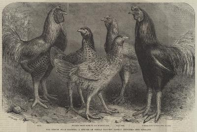 The Begum Pilly Gaguzes, a Species of Indian Poultry Lately Imported into England-Friedrich Wilhelm Keyl-Giclee Print