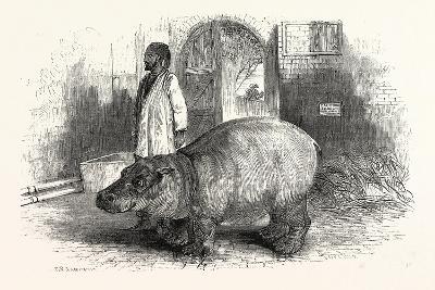 The Behemoth, or Hippopotamus--Giclee Print