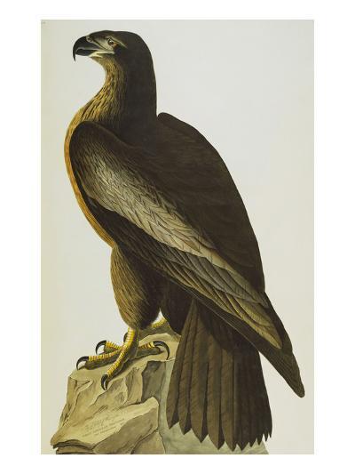 The Bird of Washington Bald Eagle (Haliaeetus Leucocephalus), Plate XI, from 'The Birds of America'-John James Audubon-Giclee Print