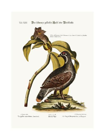 The Black and Spotted Heathcock, 1749-73-George Edwards-Giclee Print