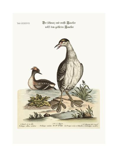 The Black and White Dobchick and the Eared Dobchick, 1749-73-George Edwards-Giclee Print