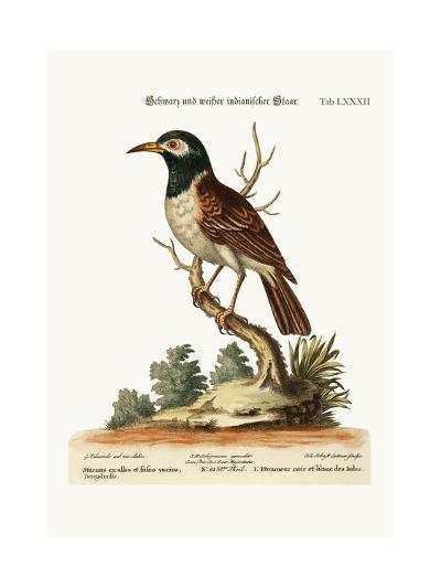 The Black and White Indian Starling, 1749-73-George Edwards-Giclee Print