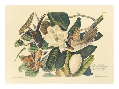 The Black Billed Cuckoo-John James Audubon-Premium Giclee Print